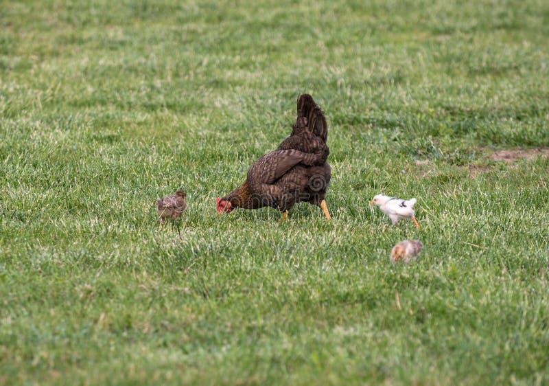 dieta polli da cortile