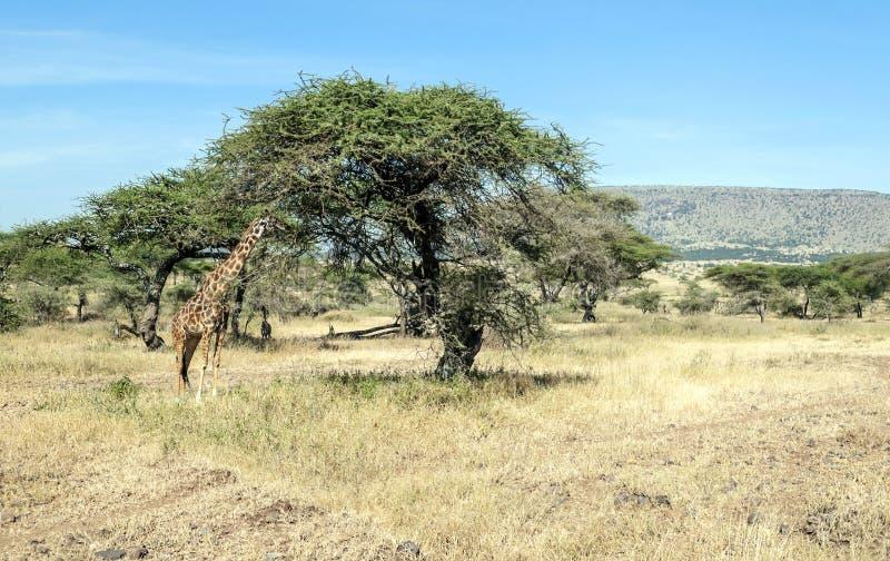 Cibo della giraffa immagini stock libere da diritti