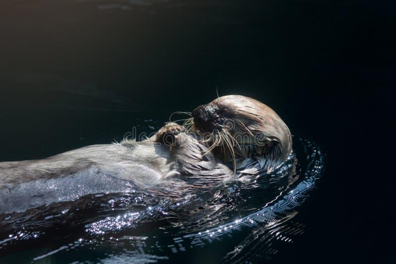Cibo della lontra di mare fotografia stock