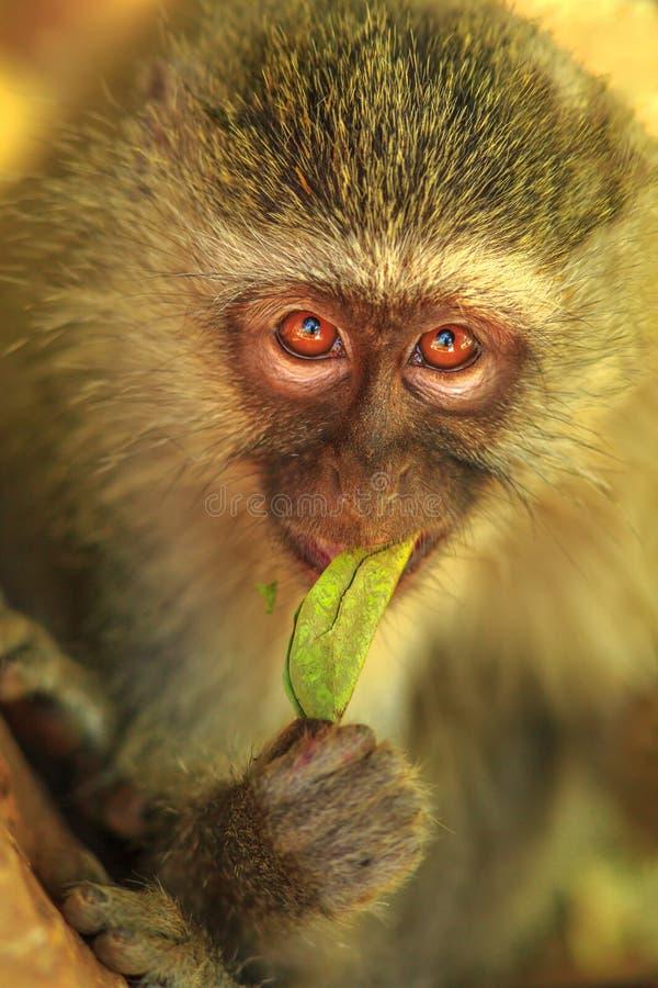 Cibo della scimmia di Vervet immagine stock