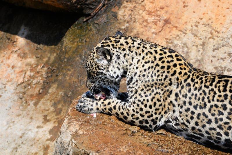 Cibo della tigre di Jaguar fotografie stock