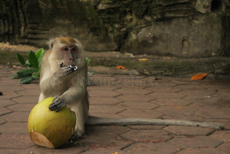 Cibo delle caverne della Malesia Batu del macaca del macaco della scimmia della noce di cocco immagini stock libere da diritti