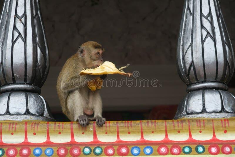 Cibo delle caverne della Malesia Batu di macacca del macaco della scimmia della banana fotografia stock libera da diritti