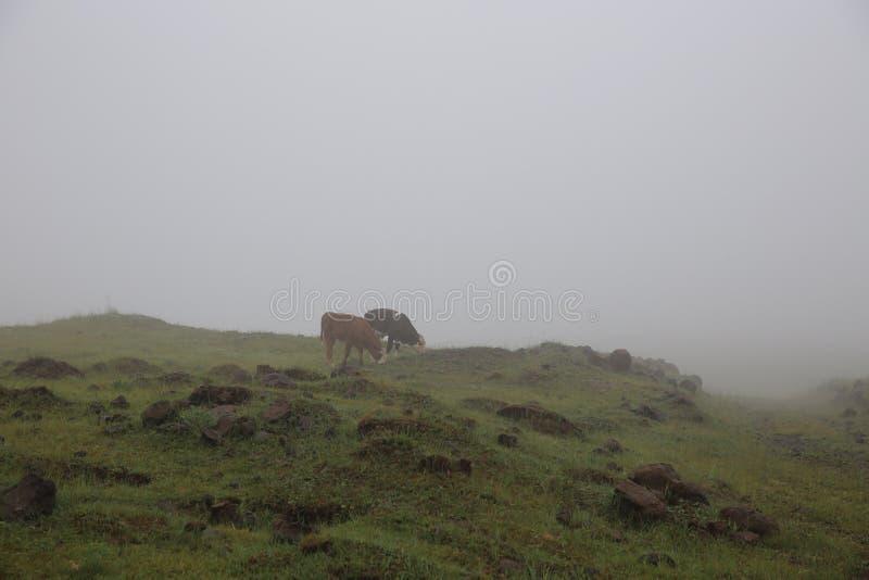 Cibo delle mucche immagini stock libere da diritti