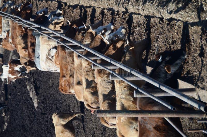 Cibo delle mucche fotografie stock