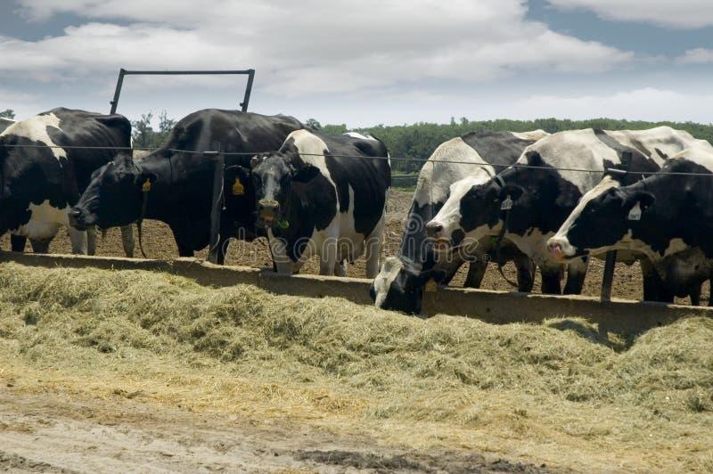 Cibo delle mucche di latte. fotografia stock