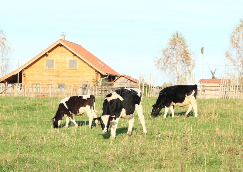 Cibo delle mucche sull'azienda agricola fotografia stock