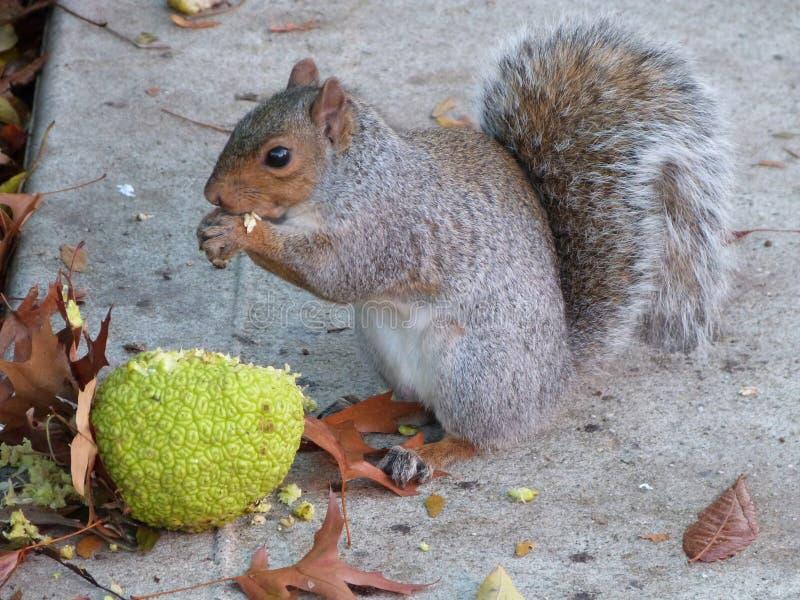 Cibo dello scoiattolo fotografia stock