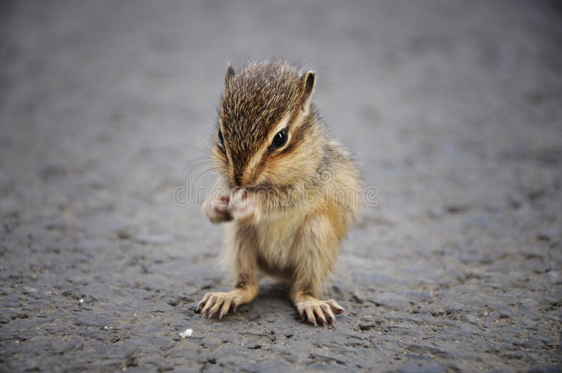 Cibo dello scoiattolo del bambino fotografia stock libera da diritti