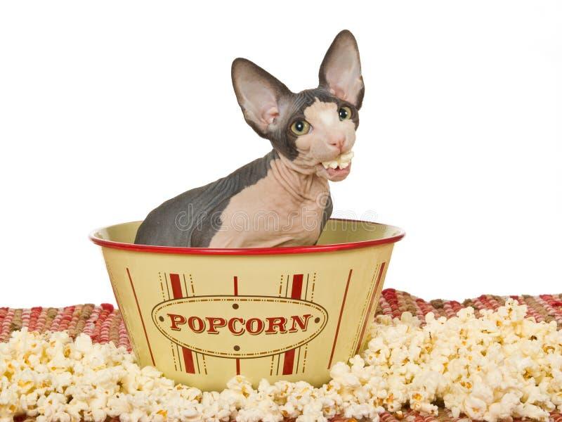cibo dello sphynx divertente del popcorn del gattino fotografia stock libera da diritti
