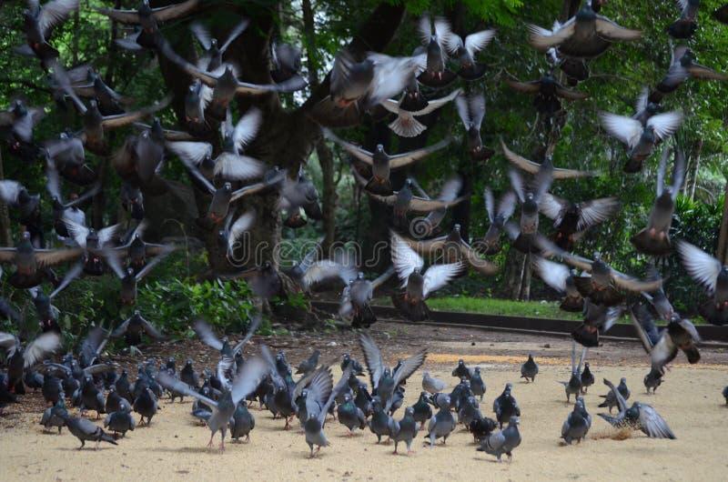 Cibo e volo dei piccioni di direzione in uno stormo o in un gruppo fotografia stock