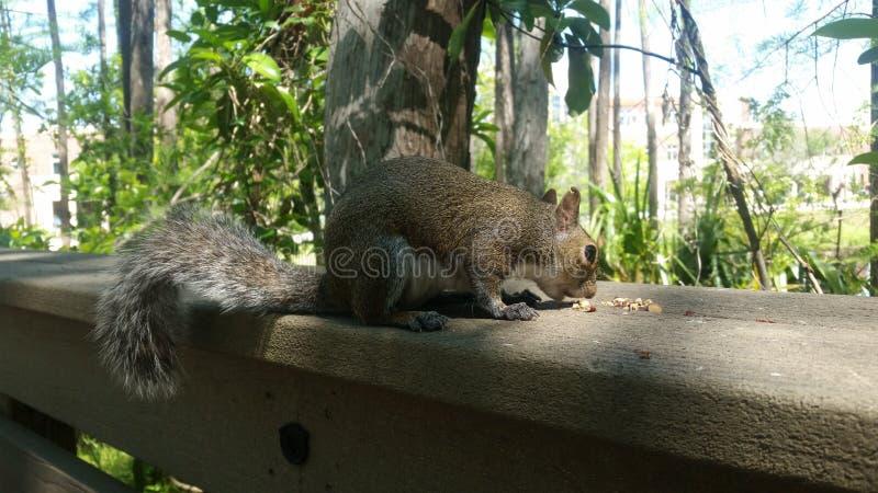 Cibo maestoso dello scoiattolo fotografia stock libera da diritti