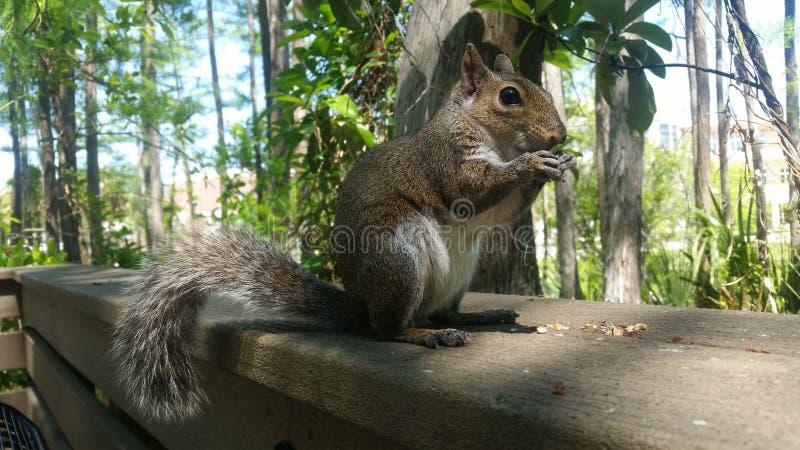 Cibo maestoso dello scoiattolo fotografie stock libere da diritti