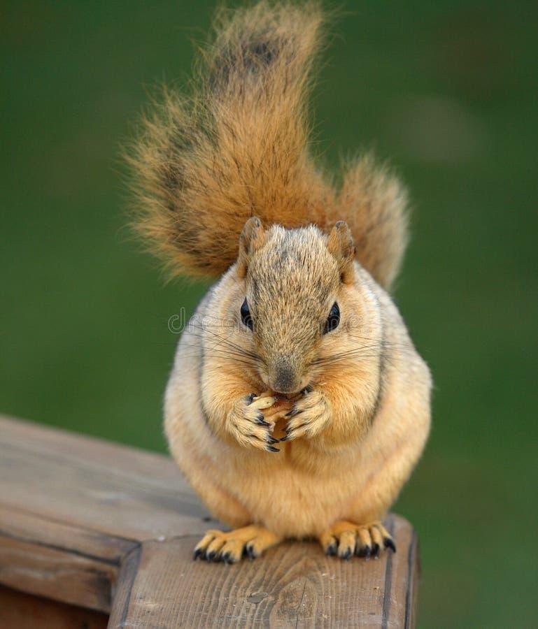 Cibo sveglio dello scoiattolo fotografie stock libere da diritti