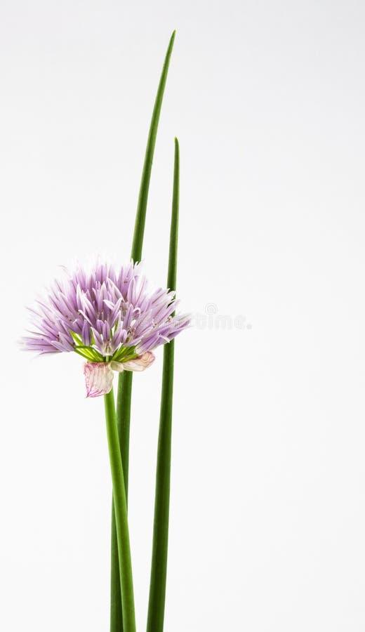 Ciboulette de fleur de cheminées photos stock