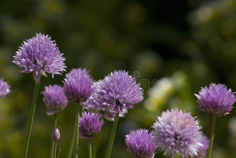 Ciboulette en fleur, schoenoprasum d'allium photo libre de droits