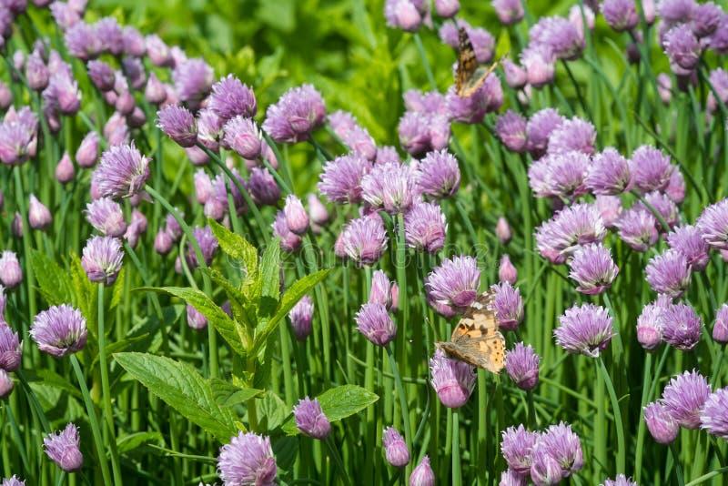 Ciboulette et papillon orange dans le jardin image stock