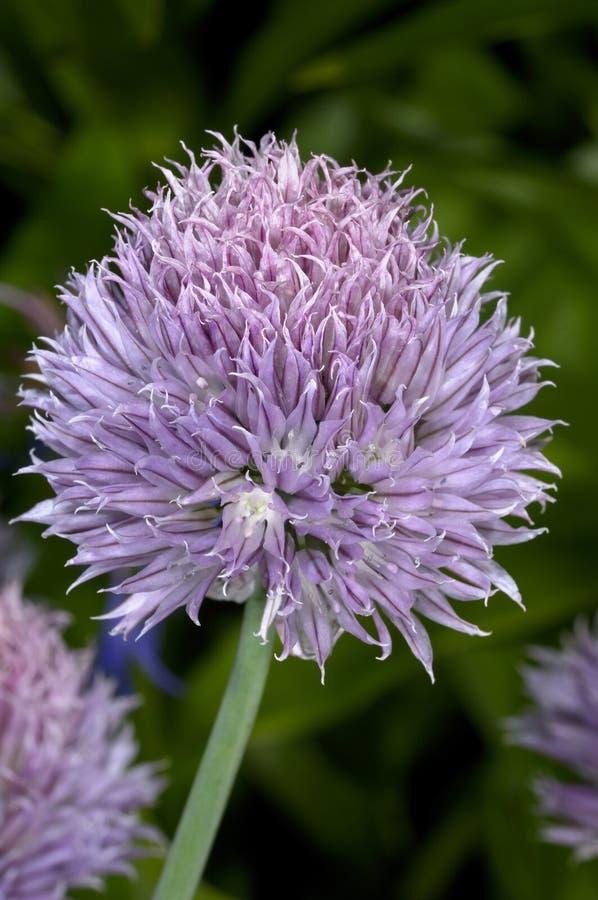 Ciboulette, schoenoprasum d'allium image stock