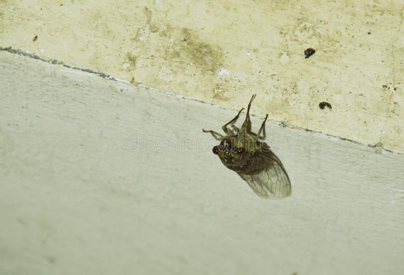 Cicada επιδιώκει για το σύντροφο στην ένωση θερινής νύχτας στον τοίχο στοκ εικόνες