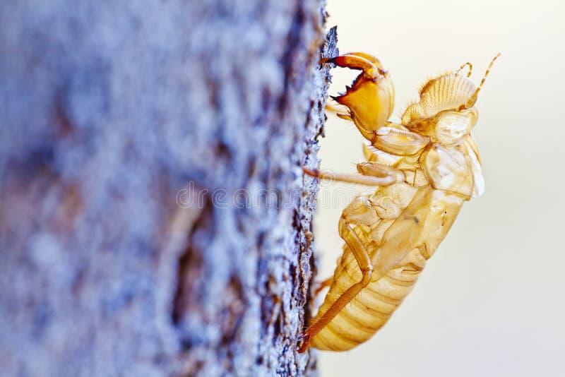 Cicada κοχύλι moult στοκ εικόνες