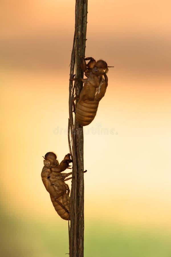 Cicada λεκές στοκ φωτογραφία με δικαίωμα ελεύθερης χρήσης