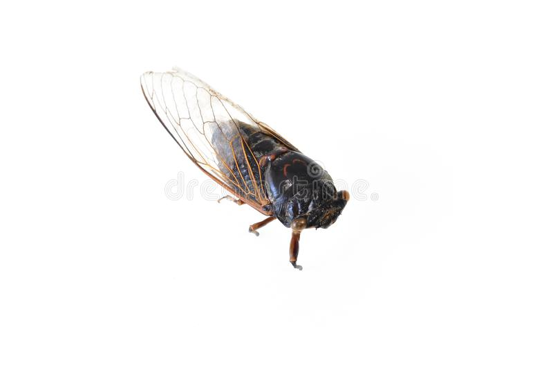 Cicada που απομονώνεται στο άσπρο υπόβαθρο στοκ εικόνα με δικαίωμα ελεύθερης χρήσης