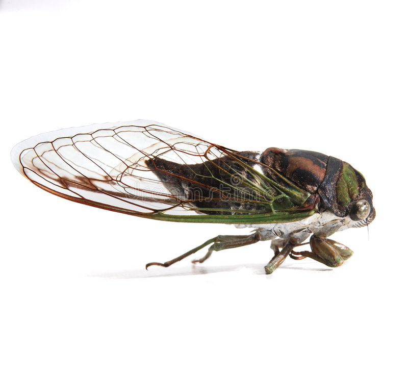 cicada στοκ εικόνα με δικαίωμα ελεύθερης χρήσης