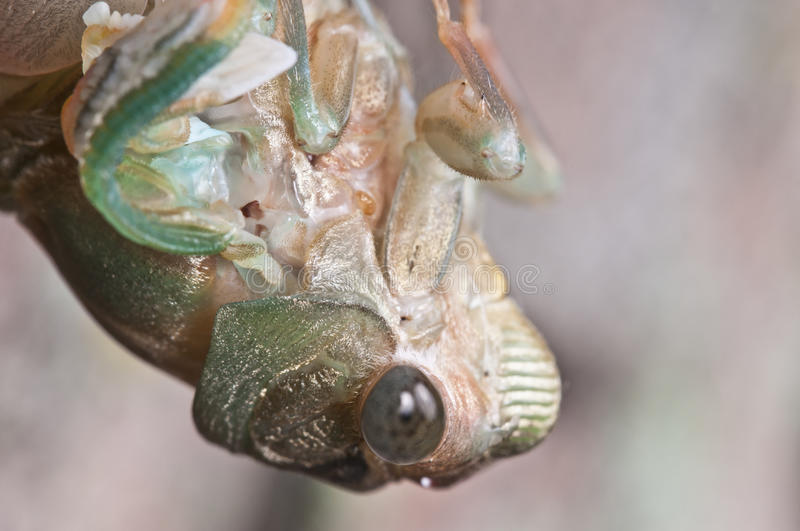 Download Cicada stock image. Image of birth, adult, up, brown - 15179445