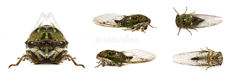 Download Cicada stock photo. Image of cicadoidea, close, cicada - 20915554