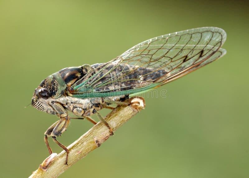 Cicada royalty free stock image