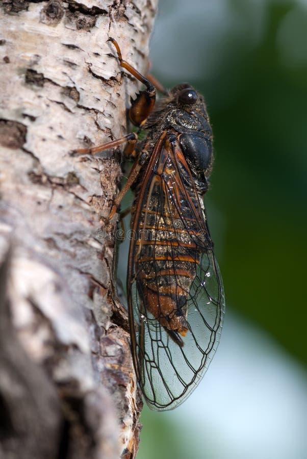 The cicada royalty free stock photography