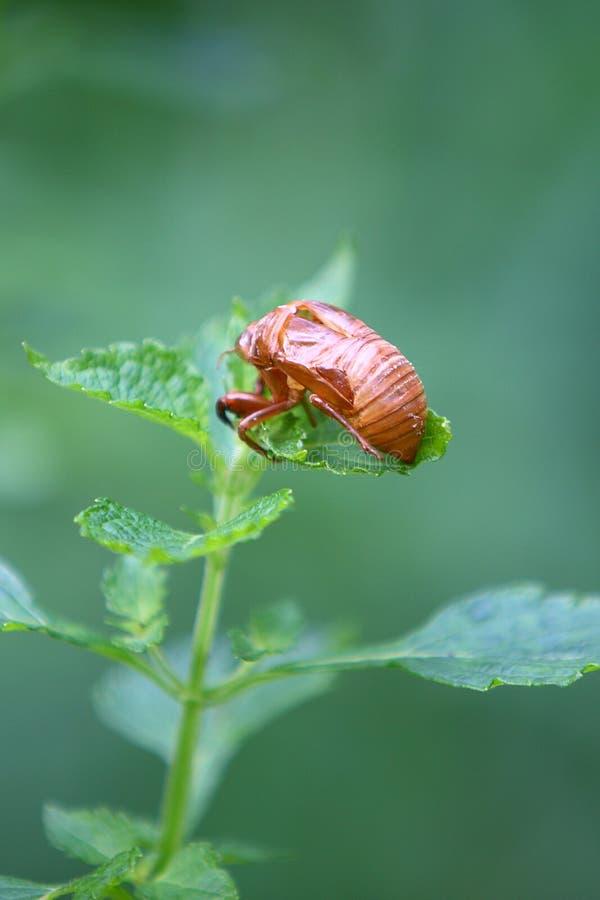 Download Cicada stock image. Image of leaves, leaf, detail, color - 23787457