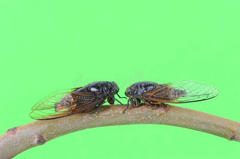 Download Cicada stock photo. Image of eyes, flying, head, ecology - 26195330