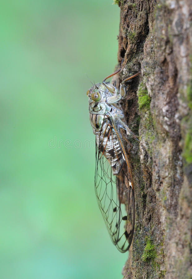 Download Cicada stock photo. Image of nature, macro, wing, close - 26714352