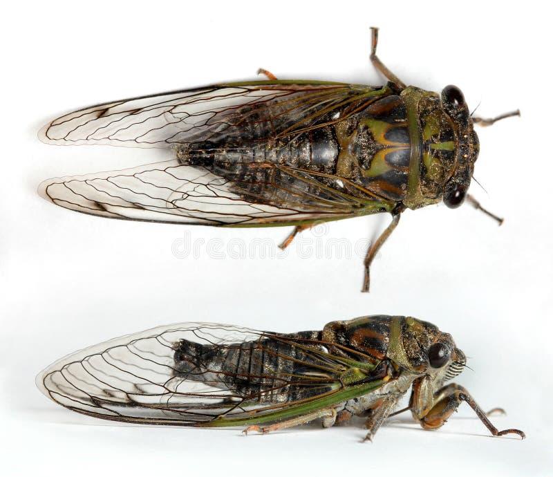Download Cicada stock photo. Image of brown, detail, large, eyes - 28446338