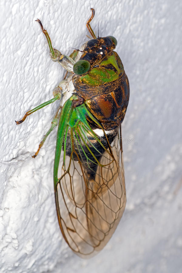 Free Cicada Stock Images - 32499304
