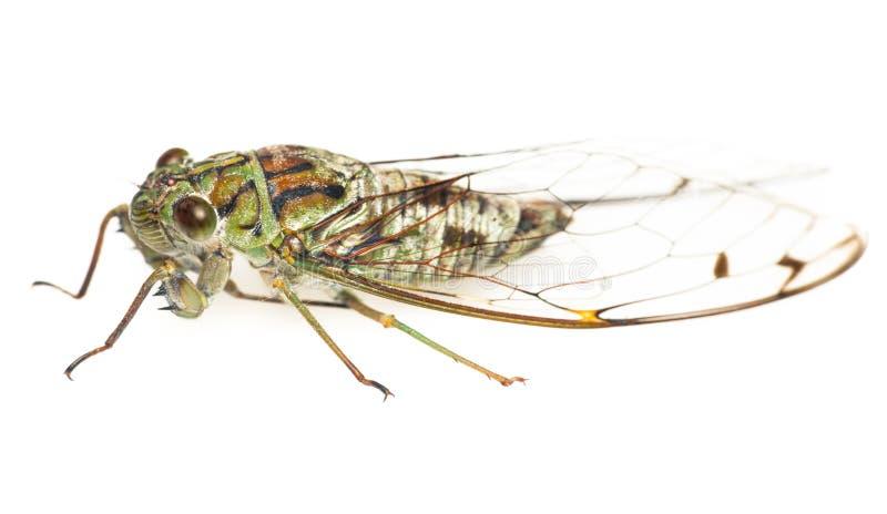 Cicada στοκ φωτογραφίες