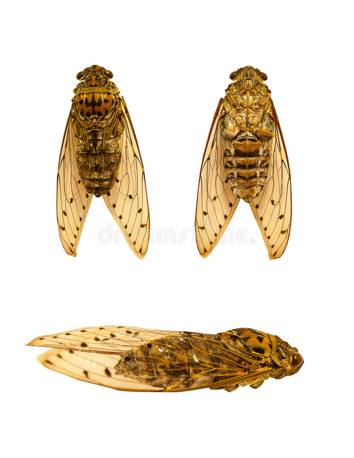 Cicada στοκ φωτογραφία