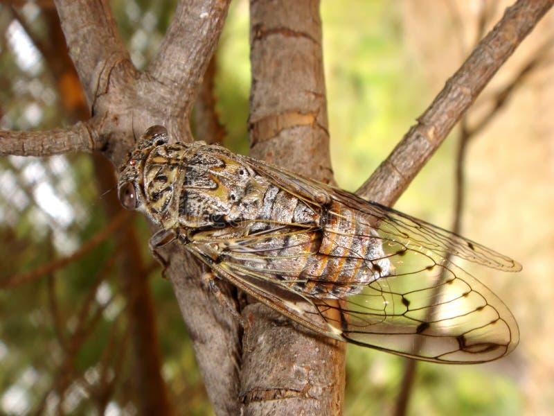 Cicada on branch royalty free stock photos