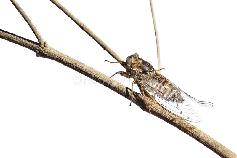 Cicada on the branch royalty free stock images