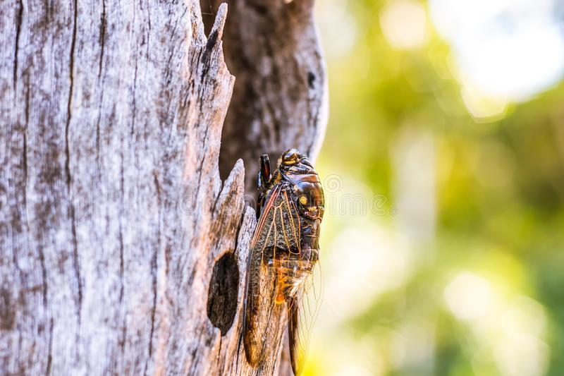 Cicada Bug. Cicada insect. Cicada stick on tree at the park of thailand Tremendous musical abilities of cicada. Insect sings beautifully and prefers a warm royalty free stock image