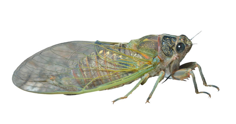 Cicada 9. A close up of the cicada. Isolated on white royalty free stock image