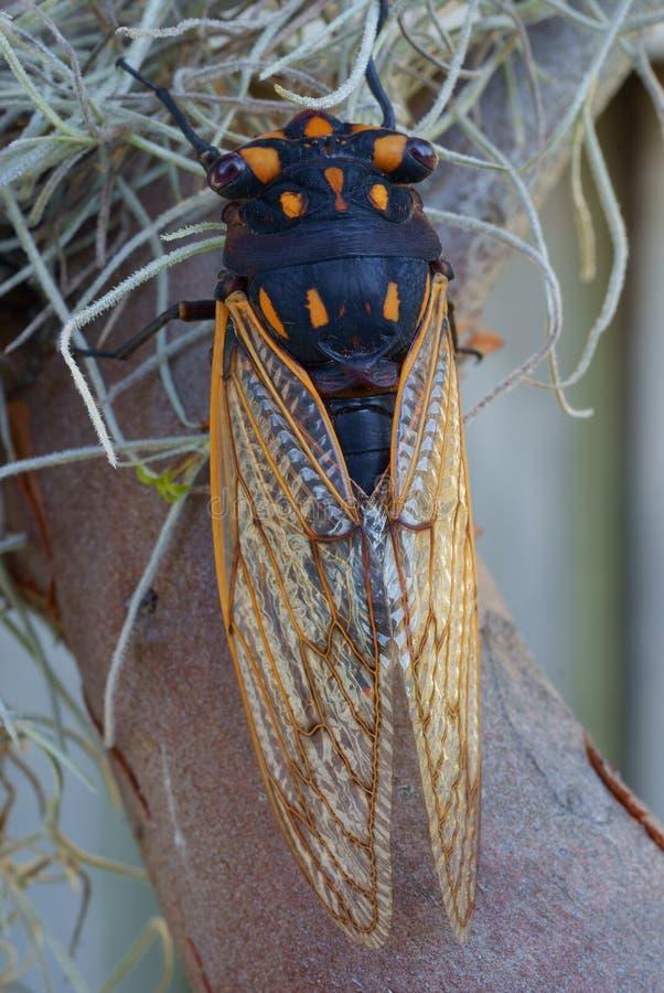Cicada sitting on tree close-up royalty free stock photos