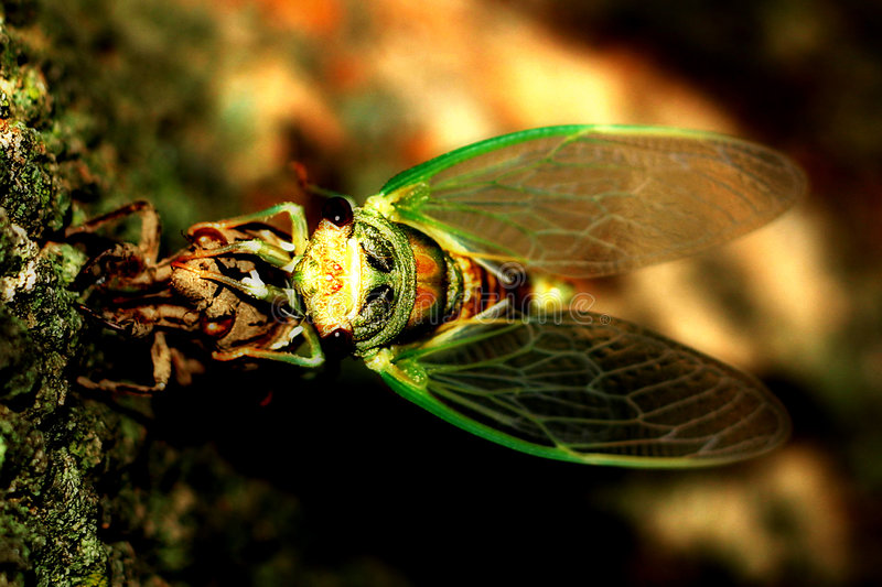 Download Cicada Crawling Out Of Its Shell Stock Image - Image: 19053