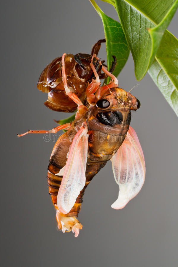Cicada Eclosion 4 Royalty Free Stock Images