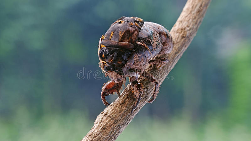 Cicada eclosion royalty free stock photos