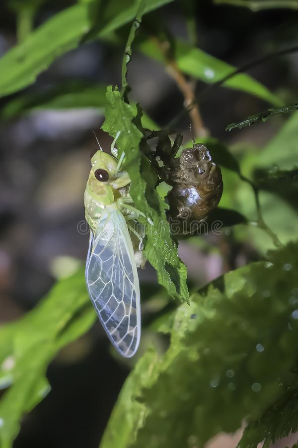 Cicada emerging and pumping up wings in jungle royalty free stock photo