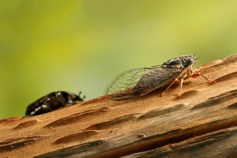 Cicada Euryphara, known as european Cicada, crawling on the trunk of a tree on green background. stock photo