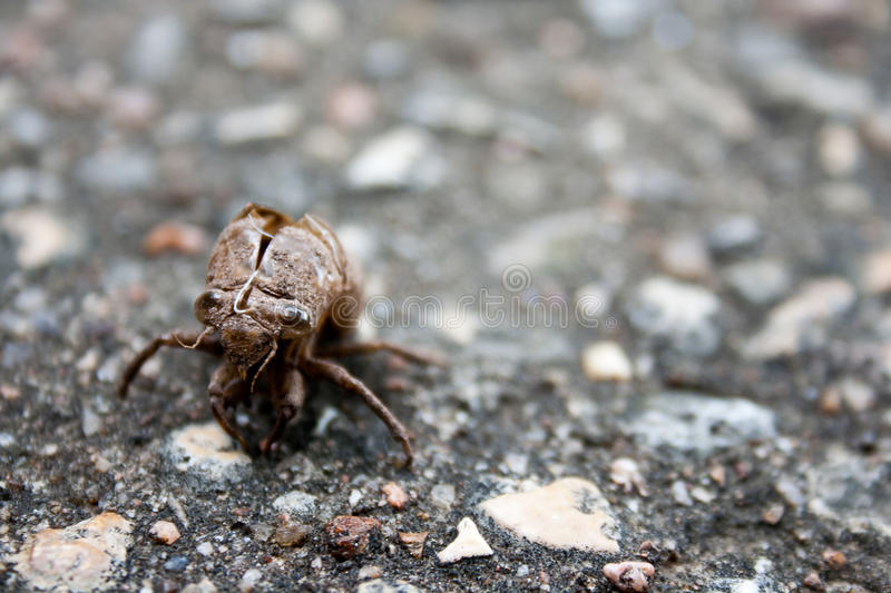 Cicada Exoskeleton Shell. A cicada has molted and left this exoskeleton remaining on the ground royalty free stock images
