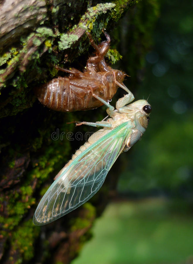 Cicada with green wings royalty free stock photo